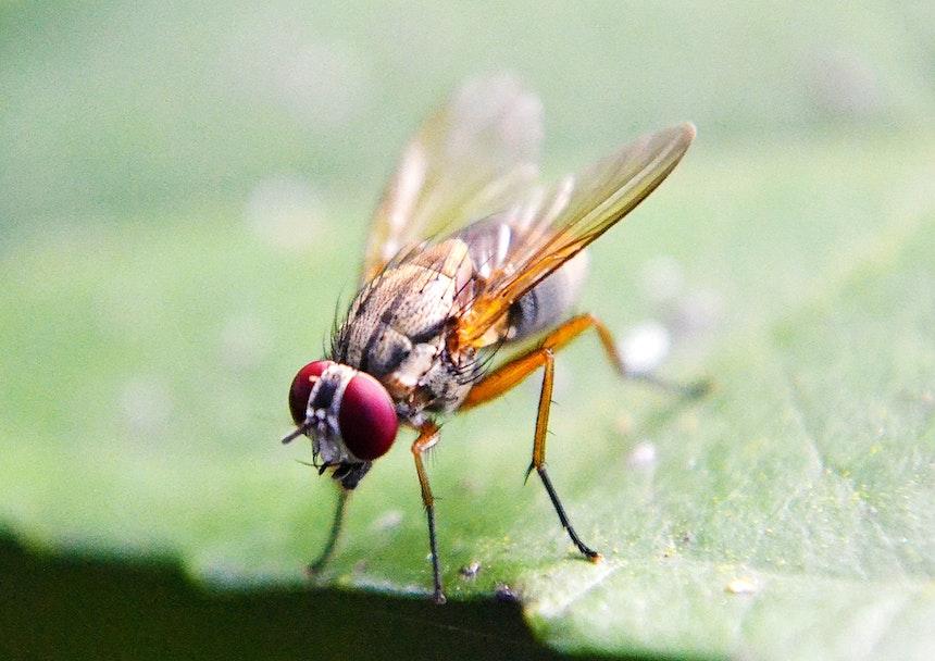 Fruit fly on a leaf